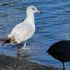 California Gull (2nd winter plumage)