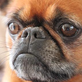 Griffon by Kirsten Gamby - Animals - Dogs Portraits ( #showusyourpets, smooth griffon, dog face, dog portrait, dog called kate, griffon dog, #garyfongpets,  )