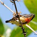 Blood breasted Flowerpecker