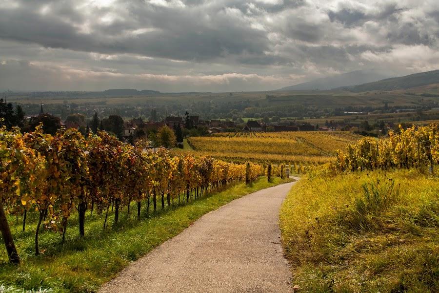 Alsatian Vineyards by Ido Ben-Itzhak - Landscapes Prairies, Meadows & Fields