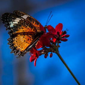 Butterly on Red Flowers by Christa Ehrstein - Animals Insects & Spiders ( butterflies, nature up close, flowers,  )