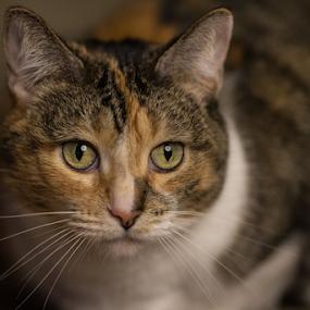 Apprehensive by Jerry Alt - Animals - Cats Portraits ( calico, kitten, cat, portrait, calico cat )