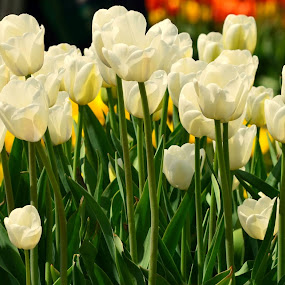 Tulips by Reshmid Ramesh - Flowers Flower Gardens ( white, white tulips, tulips, flower, , Spring, springtime, outdoors )