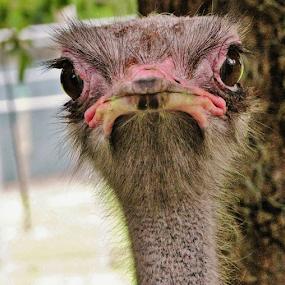Ostrich by Priscilla Renda McDaniel - Animals Birds ( ostrich,  )
