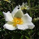 San Diego's Wild Rose