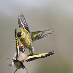 Banzai!! by Annette Flottwell - Animals Birds ( air force, combat, lenstagger, finches, goldfinch, birds in flight, siskin,  )