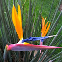 Bird of Paradise flower (Crane Flower)
