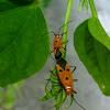 Red Stainer Bug