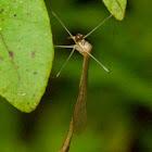 Hangingfly