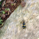 Yellow-spotted Ground Beetle or Pagoda Beetle