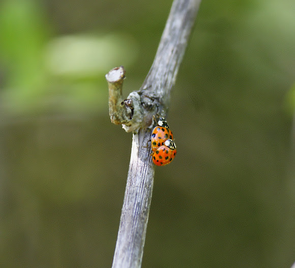 Harlequin Ladybird 1617 Spots Or Asian Lady Beetle Or Japanese