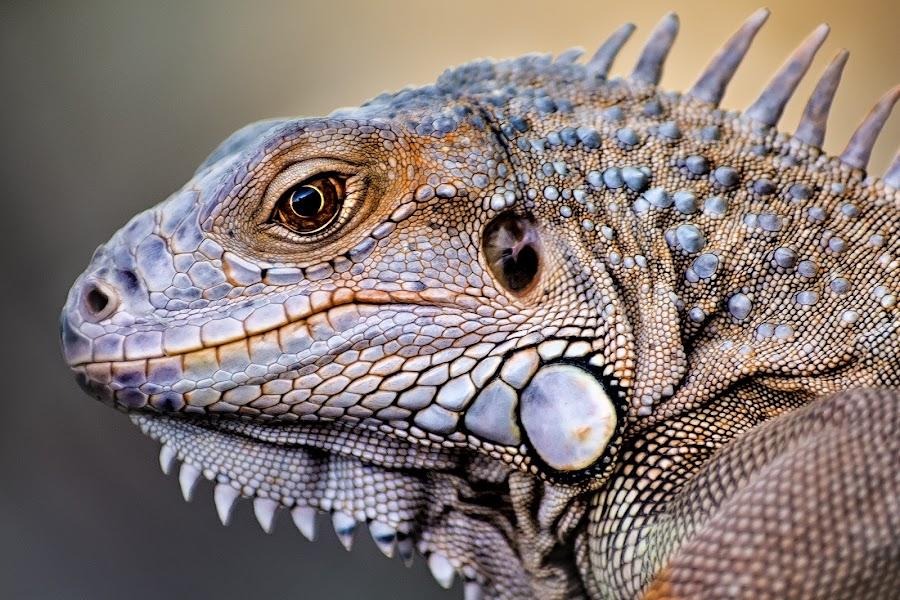 Iguana by Amril Nuryan - Animals Reptiles ( lizard, iguana, reptile, animal )