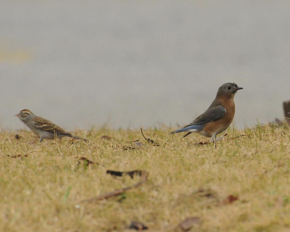 Eastern Bluebird (Juvenile male)