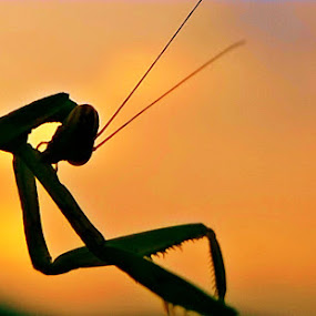 mantis by Dhani Prasetya Yudhistira - Instagram & Mobile Other ( macro, silhouette, insect )