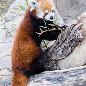 Bamboo by Dale Versteegen - Animals Other Mammals