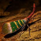 Pyrops candelaria Fulgoridae or Lantern Bug