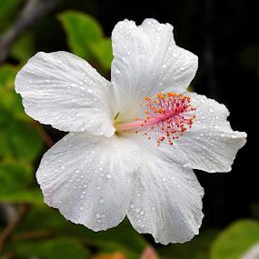 Taken in Kauai  by Jeffrey Hechter - Flowers Single Flower