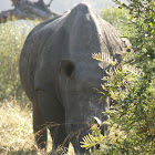 Pointed or hooked lip of the black rhinoceros