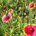 Indian Blanket, Gaillardia, Firewheel
