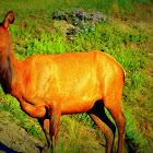 Elk (female)