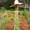 Pepino español. Spanish cucumber