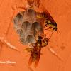 Hornet Wasps