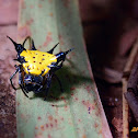 Spiny Yellow Orbweaver