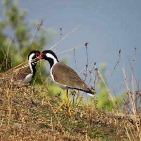 Red wattled Lapwing by Asim Mandal - Animals Birds