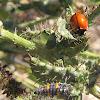 California Ladybug and larvae