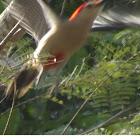 Pájaro carpintero, woodpecker