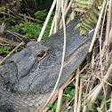 Aligator Americano - Lagarto - American Alligator