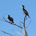 Great cormorant - kormorán velký