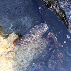 White-spotted Sea Cucumber