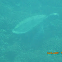 Sea turtle foraging grounds of Costa Rica