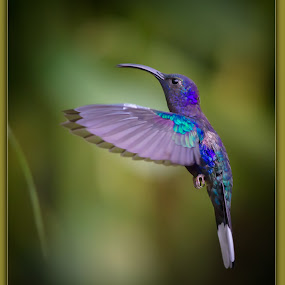 Beauty in flight  by Liza Chevres - Animals Birds ( violet sabrewing hummingbird )