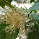 Flor de guayaba
