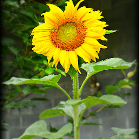 Tennessee Sunflower by Larry Landry - Flowers Single Flower ( #gardens, #flowers, #tennesseesunflower, #southernliving, #sunflower )