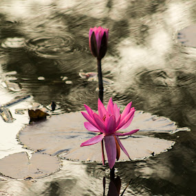 Beauty In The Water by Qamrul Hassan Shajal - Flowers Flowers in the Wild ( blooming, water lilly, flowers )
