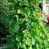 Judías verdes. Green beans