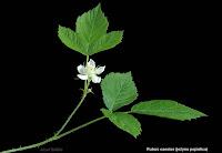 Rubus caesius - Jeżyna popielica