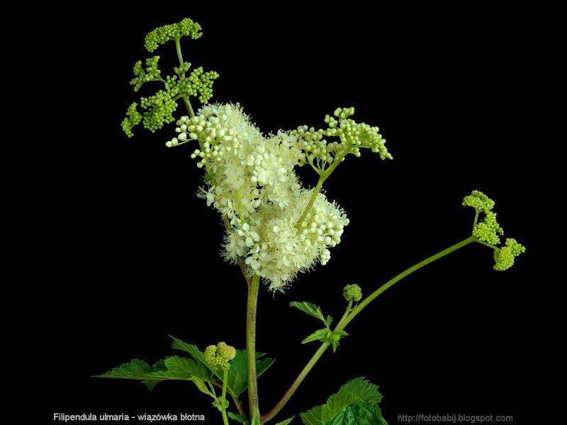 Filipendula ulmaria  - Wiązówka błotna kwiatostan