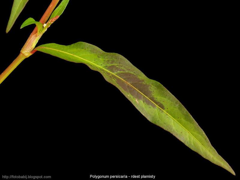Polygonum persicaria leaf - Rdest plamisty liść