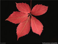 Parthenocissus quinquefolia leaf - winobluszcz pięciolistkowy liść jesienią