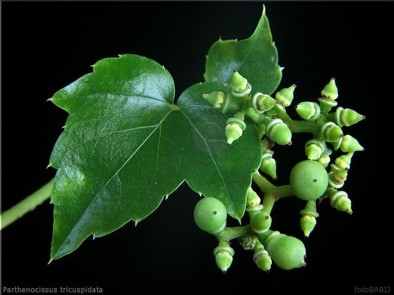 Parthenocissus tricuspidata young fruit - Winobluszcz trójklapowy niedojrzałe owoce