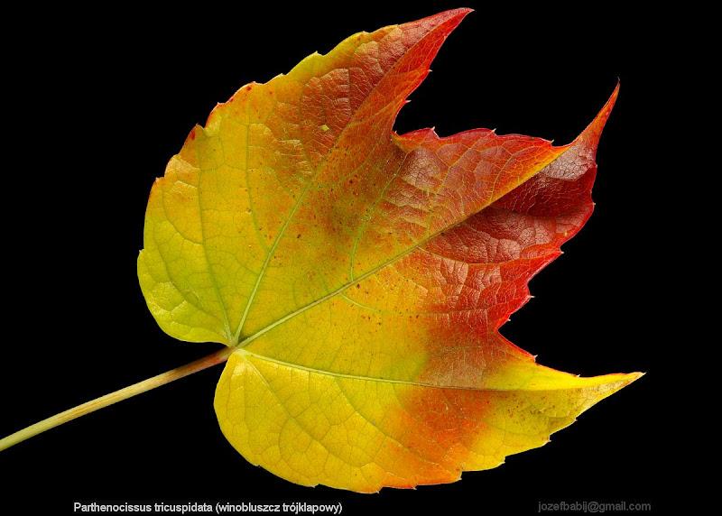Parthenocissus tricuspidata autumn leaf - Winobluszcz trójklapowy liść
