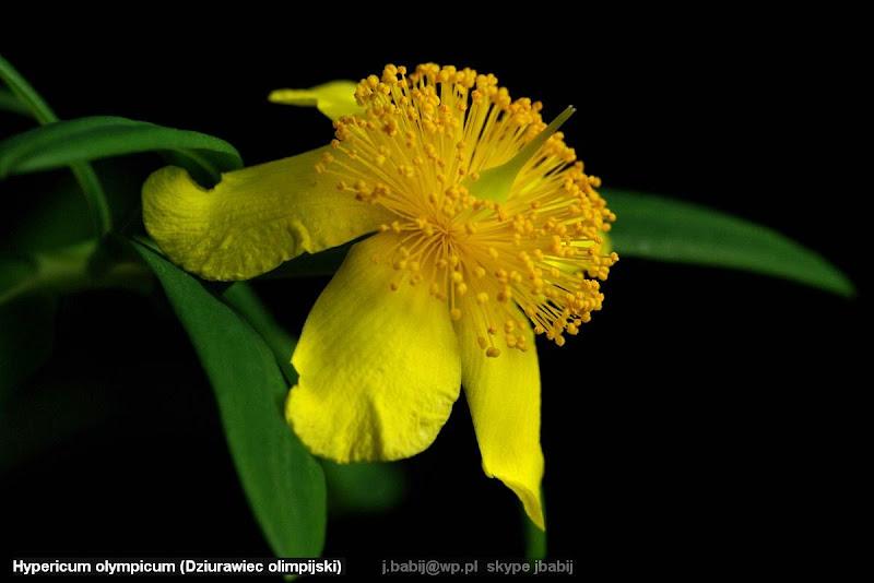 ypericum olympicum flower - Dziurawiec olimpijski kwiat