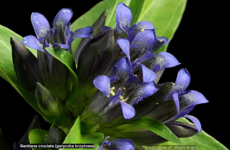 Gentiana cruciata flowers - Goryczka krzyżowa kwiaty