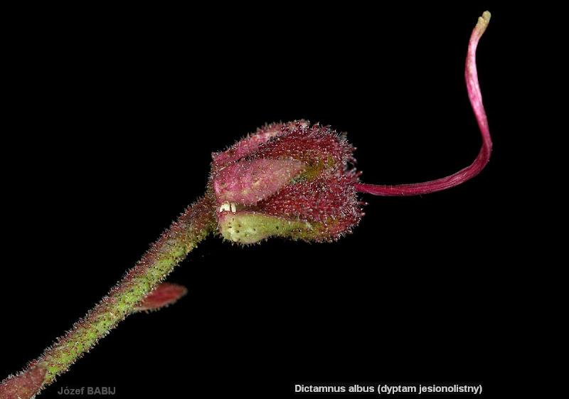 Dictamnus fraxinella young fruit - Dyptam jesionolistny młody owoc