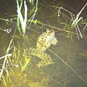 Crawfish frog