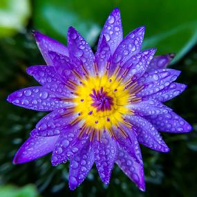 by Ronnel Masangkay - Flowers Single Flower (  )
